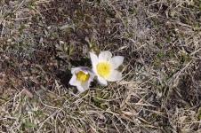 BRI Fleurs Granon Avril 2015