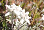 Edelweiss du plateau de la Croix de Salcette.