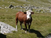 Jolie vache.