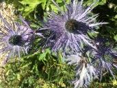 Jardin botanique alpin du Lautaret Chardons Bleus