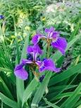 Jardin botanique du Lautaret (2058 m) Iris de montagne