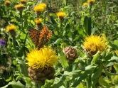 Lautaret (2058 m) Papillon sur fleur de montagne